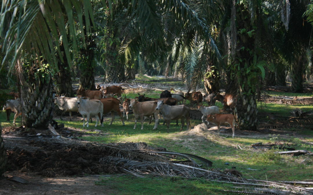 MS FSCC Summer School 2018 in Malaysia 'Oil palm – Cattle Integration: A Transition Towards Sustainability'