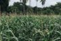 Interesting Value Chain Call for Experts – in Zambia on Maize!