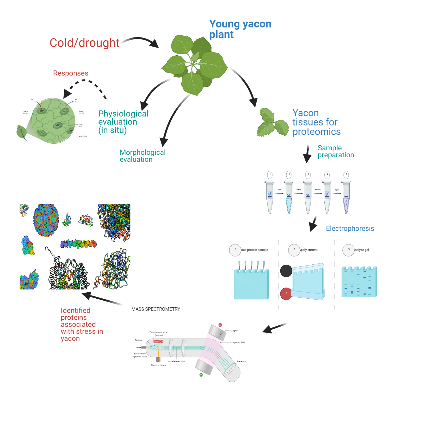 Graphical abstract for Yacon YPARD